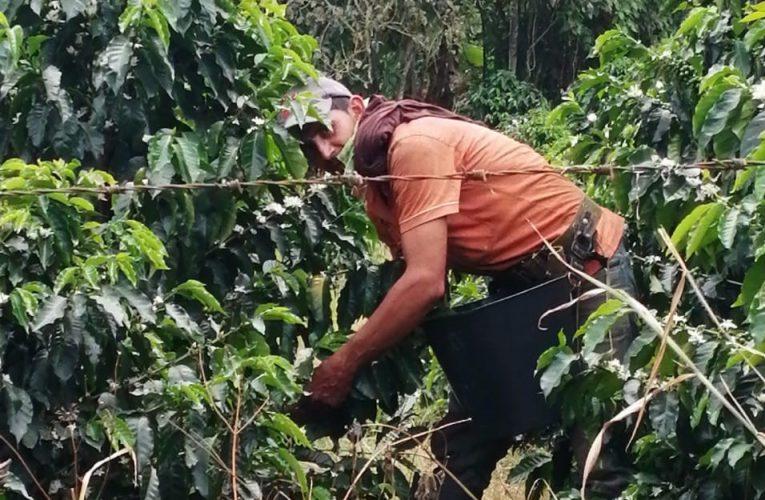 Preocupaciones de los cafeteros por cosecha en plena pandemia